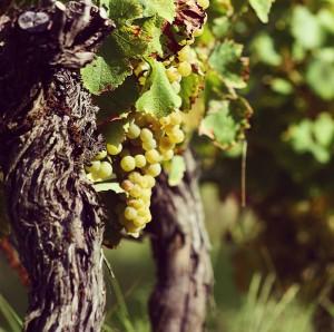 le cépage du chateau bessan - pied de vigne
